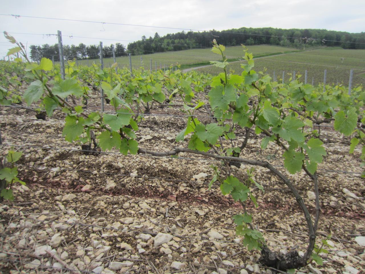 Nos Chardonnay en mai 2014